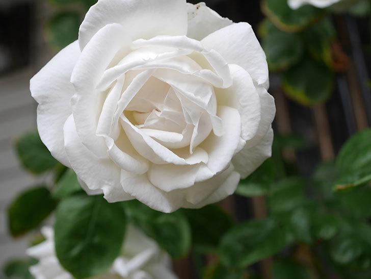 パブロア(Pavlova)の花が増えてきた。半ツルバラ。2021年-025.jpg