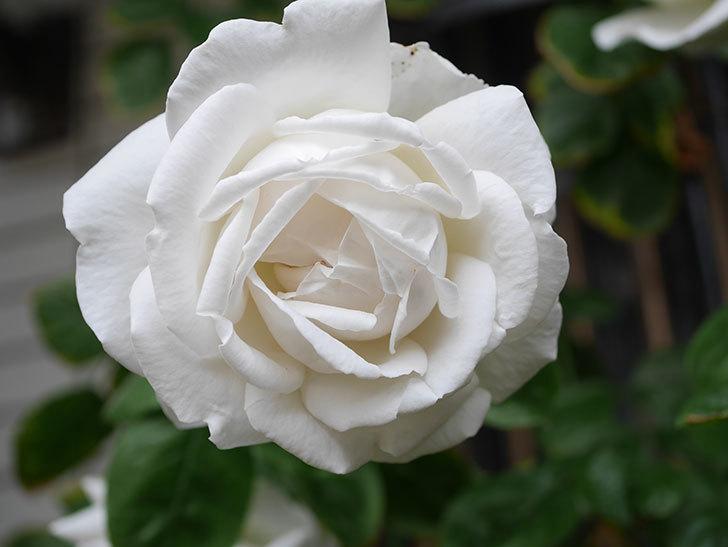 パブロア(Pavlova)の花が増えてきた。半ツルバラ。2021年-026.jpg