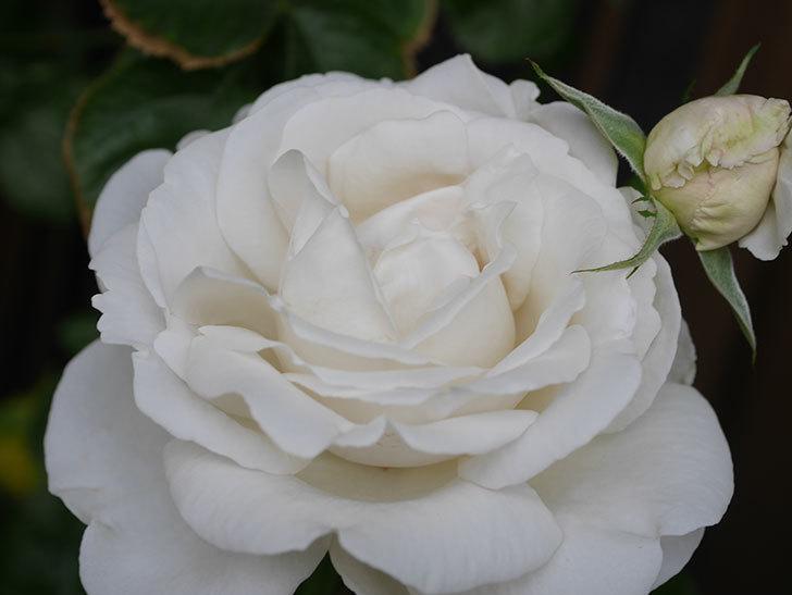 パブロア(Pavlova)の花が増えてきた。半ツルバラ。2021年-027.jpg