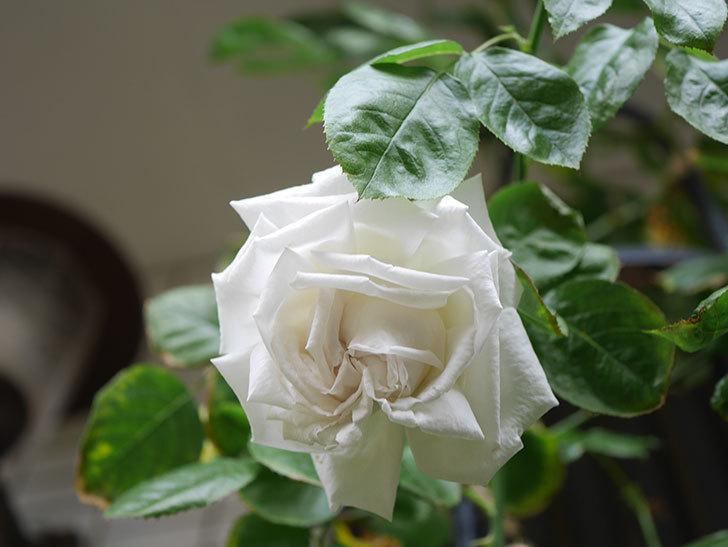 パブロア(Pavlova)の花が増えてきた。半ツルバラ。2021年-029.jpg