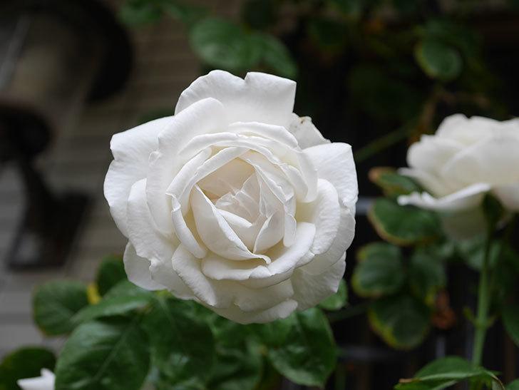 パブロア(Pavlova)の花が増えてきた。半ツルバラ。2021年-031.jpg