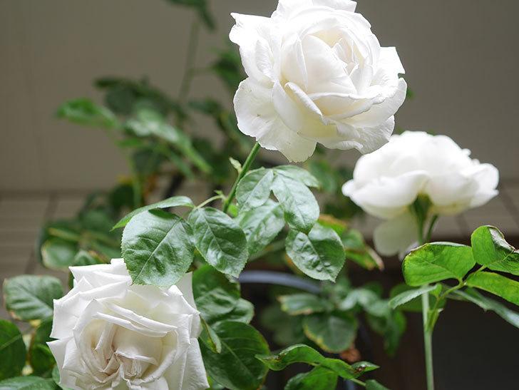 パブロア(Pavlova)の花が増えてきた。半ツルバラ。2021年-032.jpg
