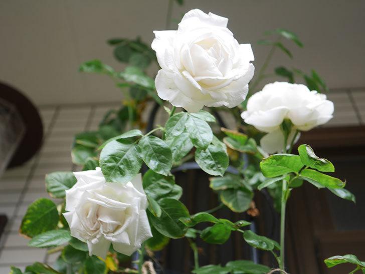 パブロア(Pavlova)の花が増えてきた。半ツルバラ。2021年-033.jpg