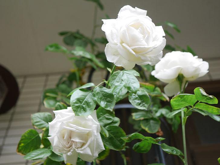 パブロア(Pavlova)の花が増えてきた。半ツルバラ。2021年-034.jpg