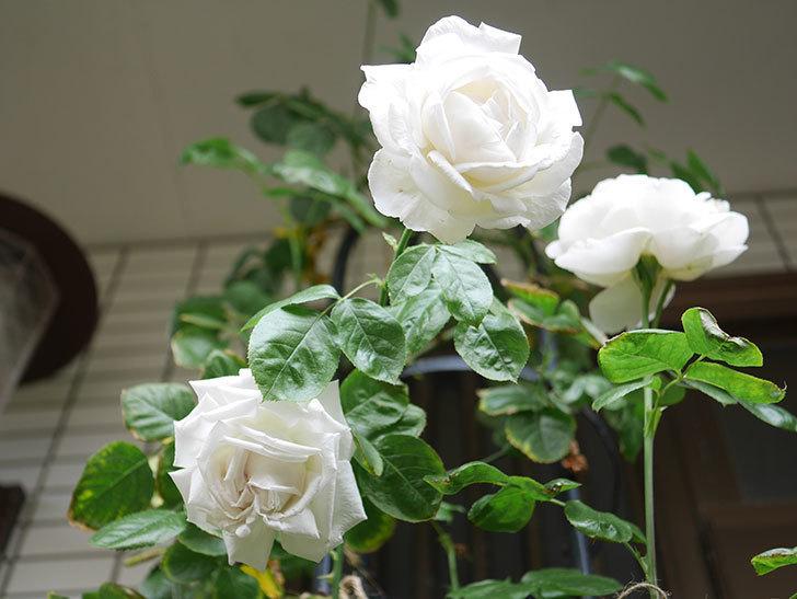 パブロア(Pavlova)の花が増えてきた。半ツルバラ。2021年-035.jpg