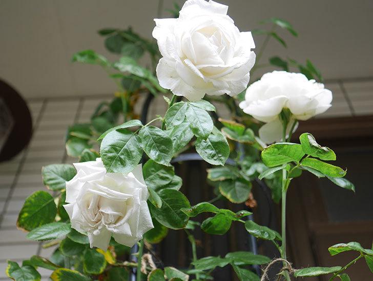 パブロア(Pavlova)の花が増えてきた。半ツルバラ。2021年-036.jpg