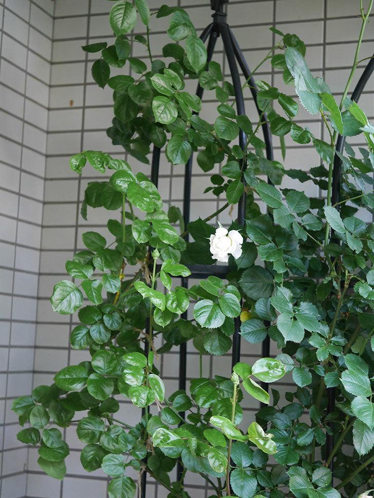 パブロア(Pavlova)の花が少し咲いた。半ツルバラ。2021年-001.jpg