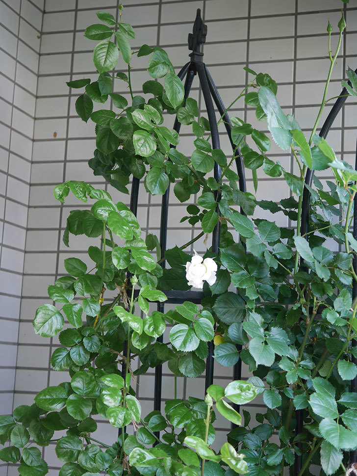 パブロア(Pavlova)の花が少し咲いた。半ツルバラ。2021年-002.jpg