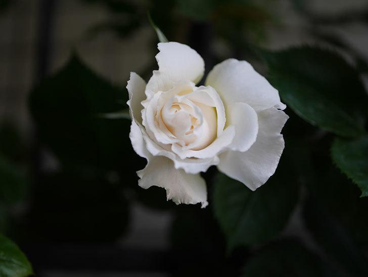 パブロア(Pavlova)の花が少し咲いた。半ツルバラ。2021年-003.jpg