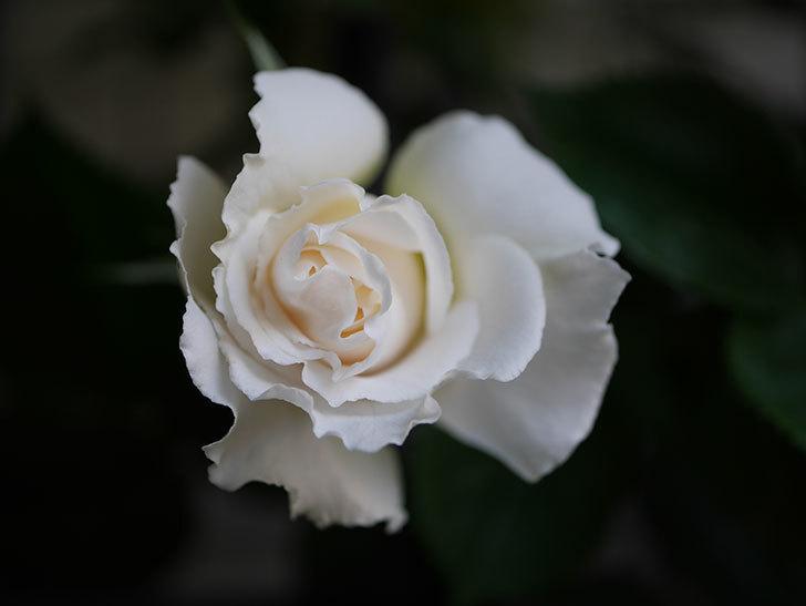 パブロア(Pavlova)の花が少し咲いた。半ツルバラ。2021年-004.jpg