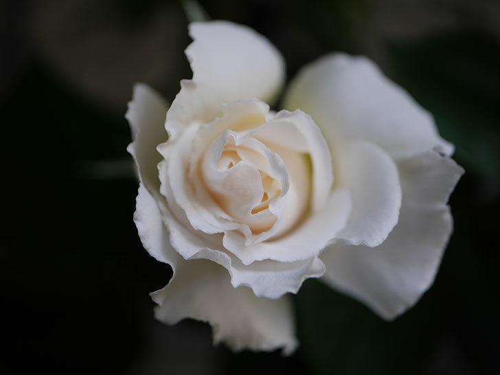 パブロア(Pavlova)の花が少し咲いた。半ツルバラ。2021年-005.jpg