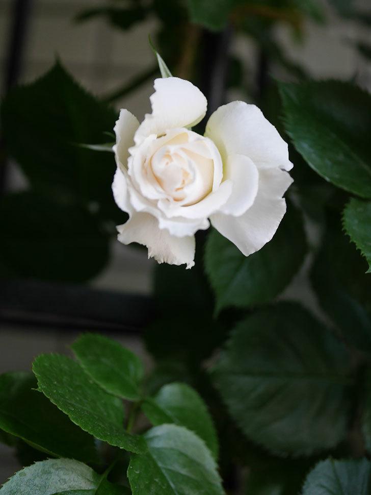 パブロア(Pavlova)の花が少し咲いた。半ツルバラ。2021年-006.jpg