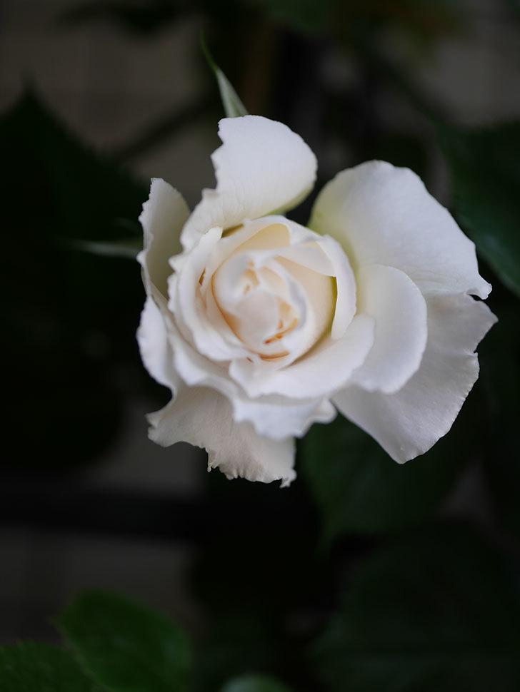 パブロア(Pavlova)の花が少し咲いた。半ツルバラ。2021年-007.jpg