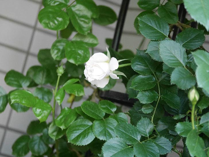 パブロア(Pavlova)の花が少し咲いた。半ツルバラ。2021年-008.jpg