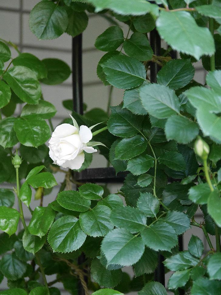 パブロア(Pavlova)の花が少し咲いた。半ツルバラ。2021年-009.jpg