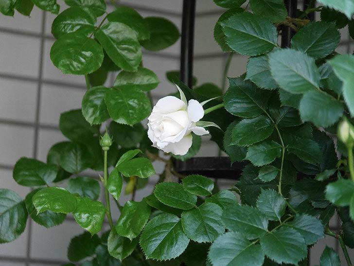 パブロア(Pavlova)の花が少し咲いた。半ツルバラ。2021年-011.jpg