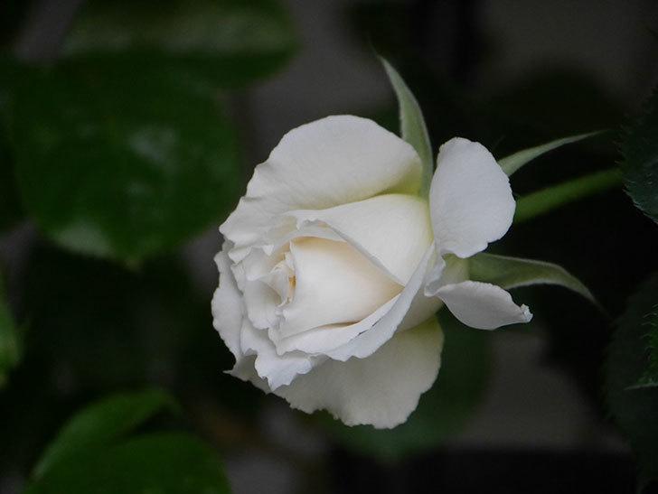 パブロア(Pavlova)の花が少し咲いた。半ツルバラ。2021年-012.jpg