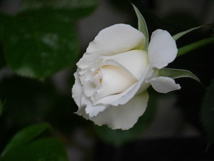 パブロア(Pavlova)の花が少し咲いた。半ツルバラ。2021年-013.jpg