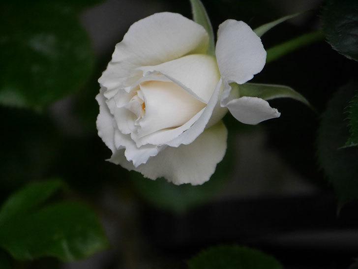 パブロア(Pavlova)の花が少し咲いた。半ツルバラ。2021年-014.jpg