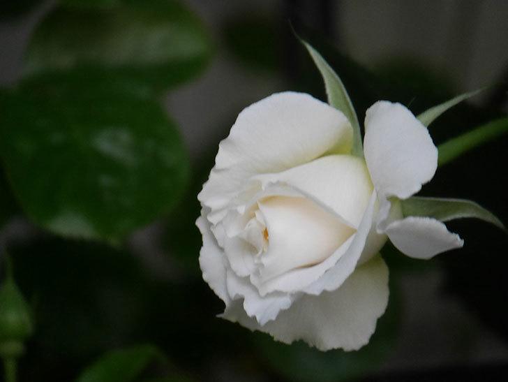 パブロア(Pavlova)の花が少し咲いた。半ツルバラ。2021年-015.jpg