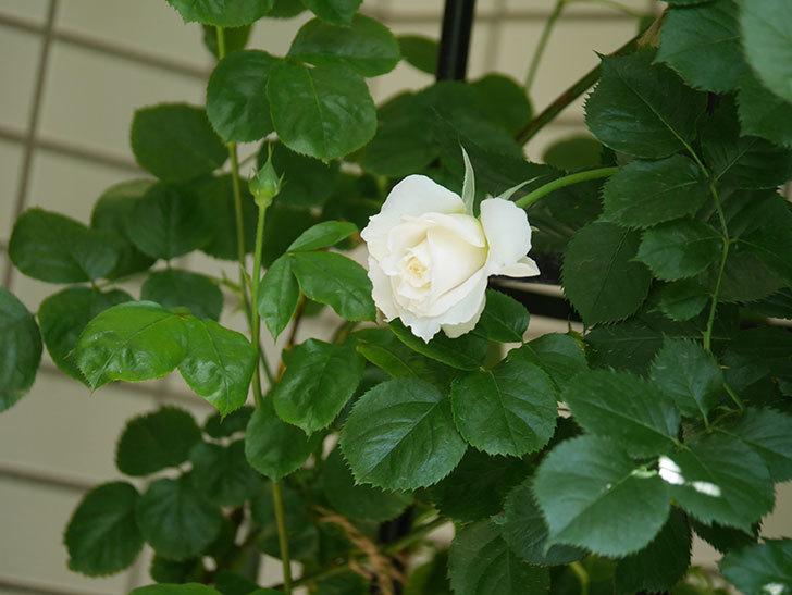 パブロア(Pavlova)の花が少し咲いた。半ツルバラ。2021年-016.jpg
