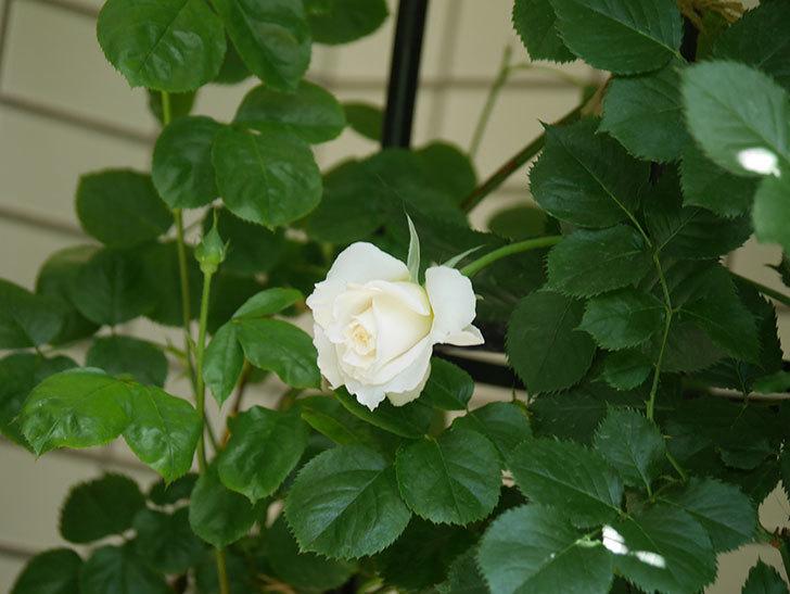 パブロア(Pavlova)の花が少し咲いた。半ツルバラ。2021年-017.jpg