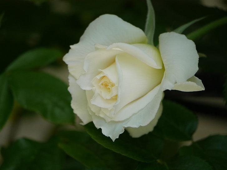 パブロア(Pavlova)の花が少し咲いた。半ツルバラ。2021年-018.jpg