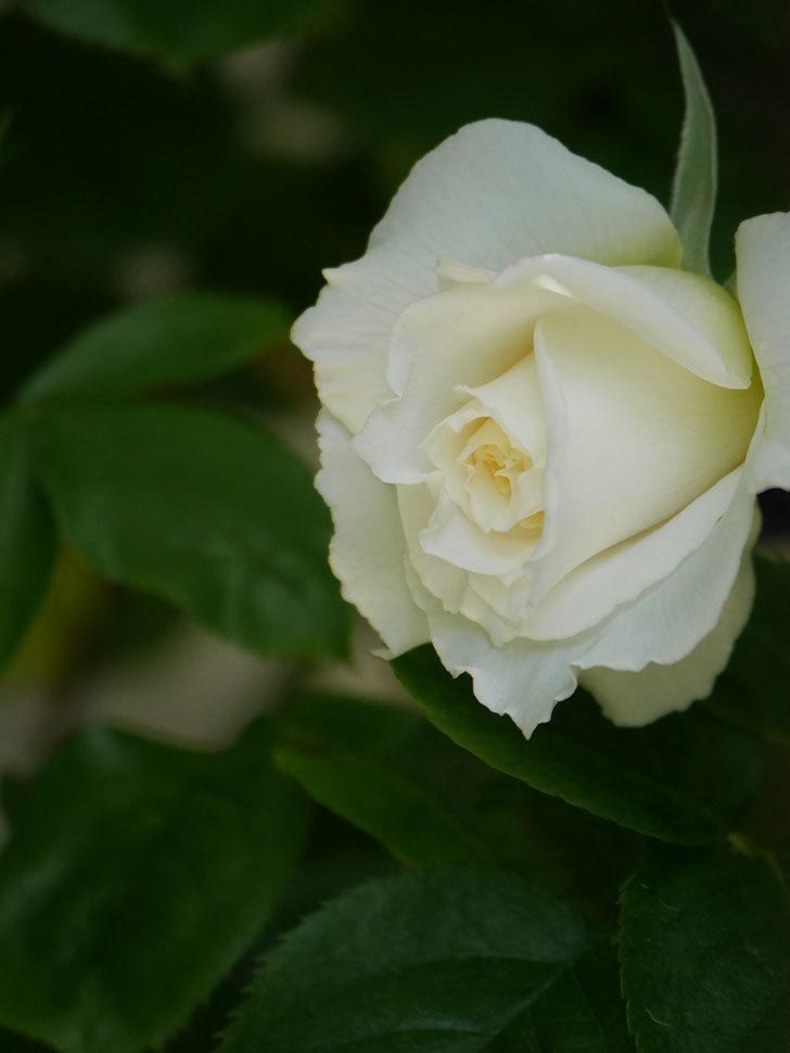 パブロア(Pavlova)の花が少し咲いた。半ツルバラ。2021年-020.jpg