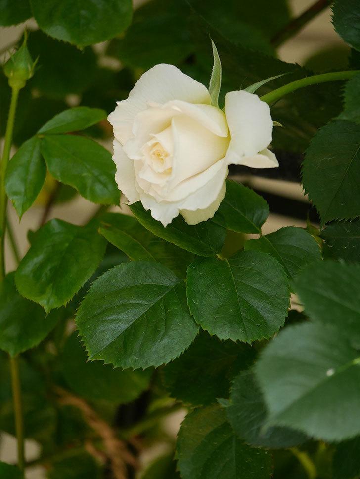 パブロア(Pavlova)の花が少し咲いた。半ツルバラ。2021年-021.jpg