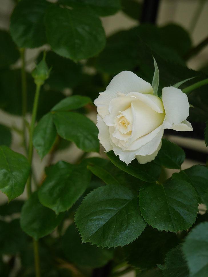パブロア(Pavlova)の花が少し咲いた。半ツルバラ。2021年-022.jpg