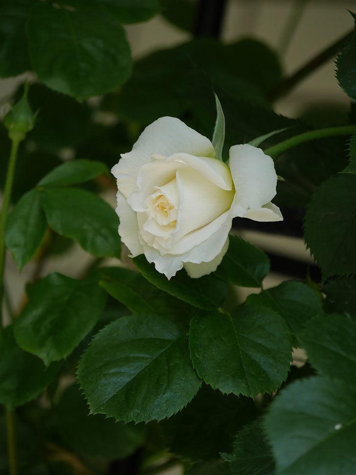 パブロア(Pavlova)の花が少し咲いた。半ツルバラ。2021年-023.jpg