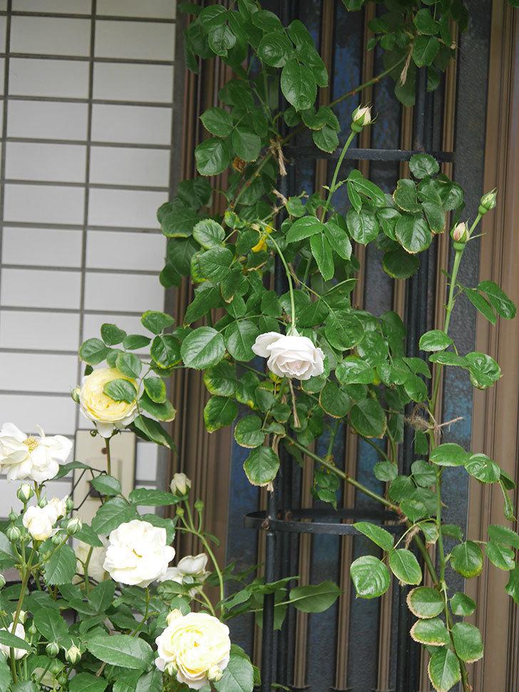 パブロア(Pavlova)の花が少し咲いた。半ツルバラ。2021年。-001.jpg