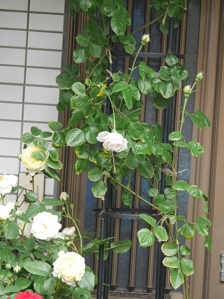 パブロア(Pavlova)の花が少し咲いた。半ツルバラ。2021年。-002.jpg