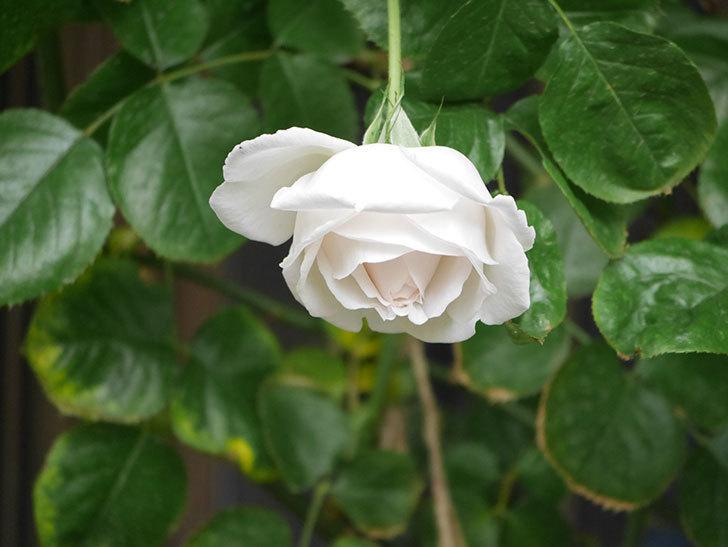 パブロア(Pavlova)の花が少し咲いた。半ツルバラ。2021年。-003.jpg