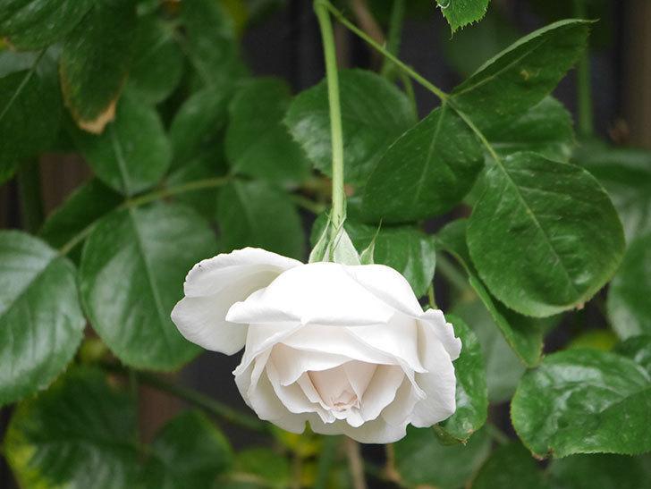 パブロア(Pavlova)の花が少し咲いた。半ツルバラ。2021年。-004.jpg