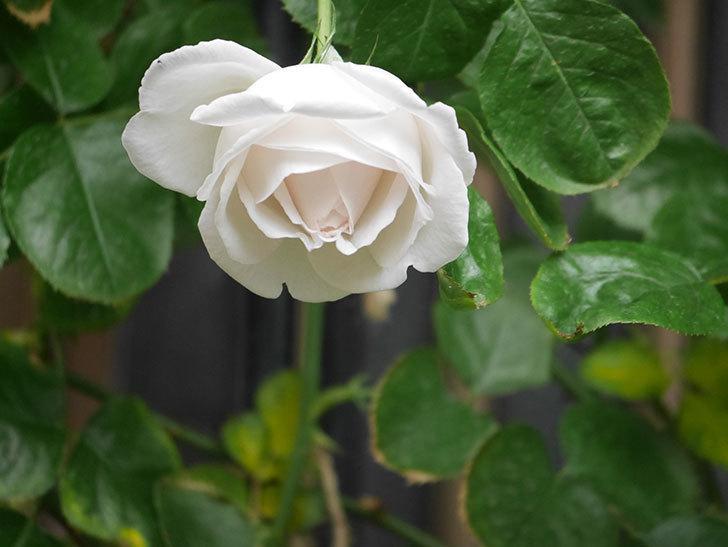 パブロア(Pavlova)の花が少し咲いた。半ツルバラ。2021年。-005.jpg