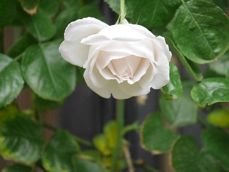 パブロア(Pavlova)の花が少し咲いた。半ツルバラ。2021年。-006.jpg