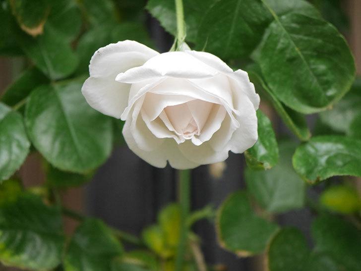 パブロア(Pavlova)の花が少し咲いた。半ツルバラ。2021年。-007.jpg