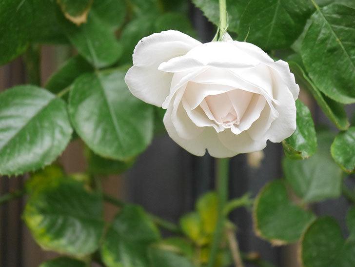 パブロア(Pavlova)の花が少し咲いた。半ツルバラ。2021年。-008.jpg