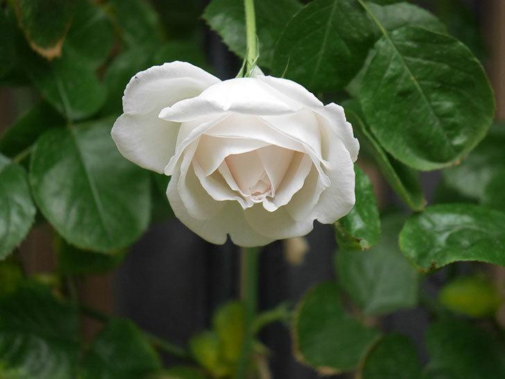 パブロア(Pavlova)の花が少し咲いた。半ツルバラ。2021年。-009.jpg