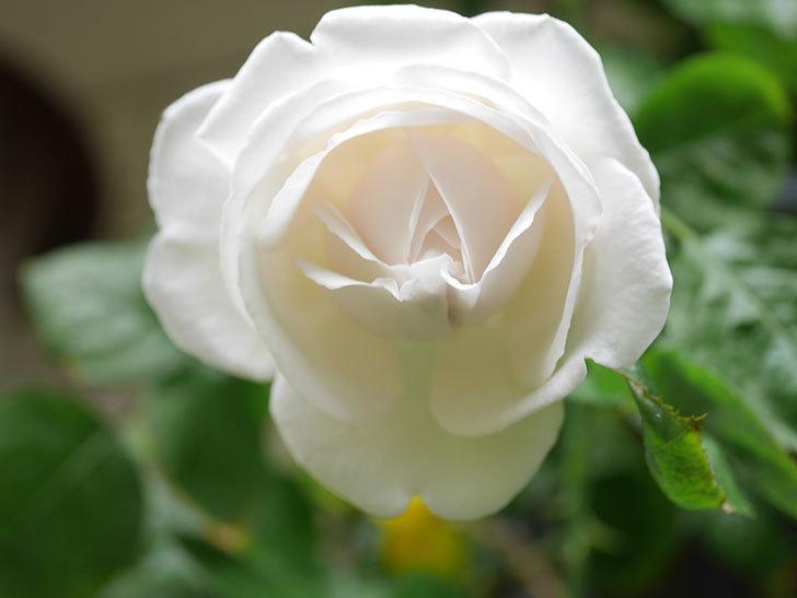 パブロア(Pavlova)の花が少し咲いた。半ツルバラ。2021年。-010.jpg