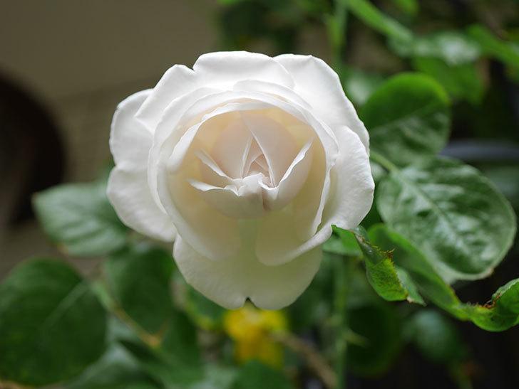 パブロア(Pavlova)の花が少し咲いた。半ツルバラ。2021年。-011.jpg