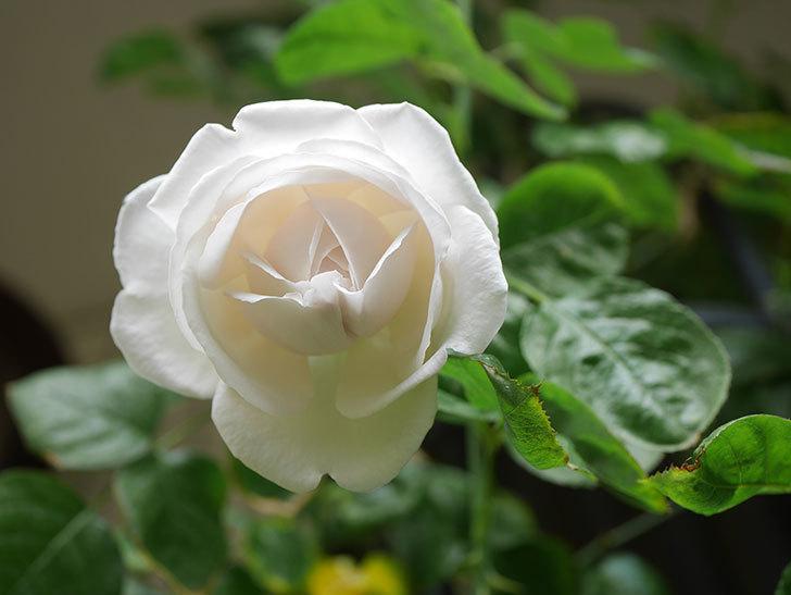 パブロア(Pavlova)の花が少し咲いた。半ツルバラ。2021年。-012.jpg