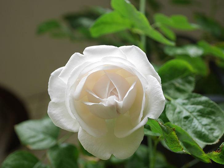 パブロア(Pavlova)の花が少し咲いた。半ツルバラ。2021年。-013.jpg