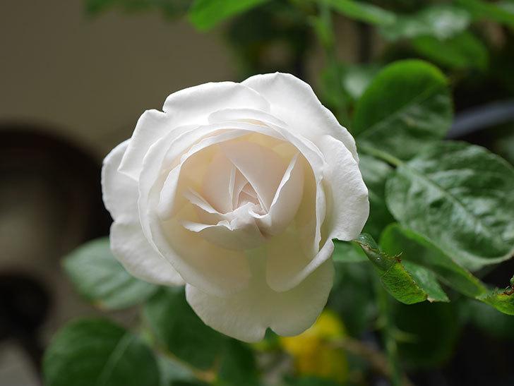 パブロア(Pavlova)の花が少し咲いた。半ツルバラ。2021年。-014.jpg
