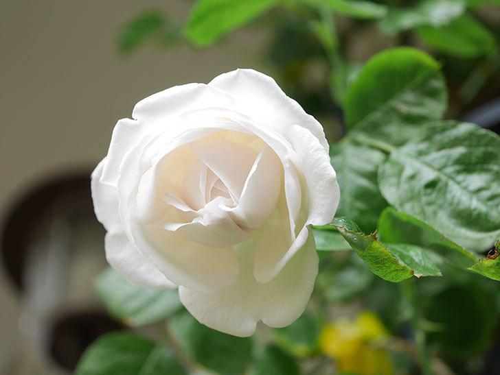 パブロア(Pavlova)の花が少し咲いた。半ツルバラ。2021年。-015.jpg