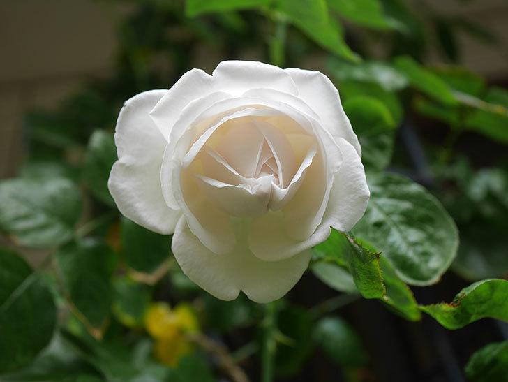 パブロア(Pavlova)の花が少し咲いた。半ツルバラ。2021年。-016.jpg