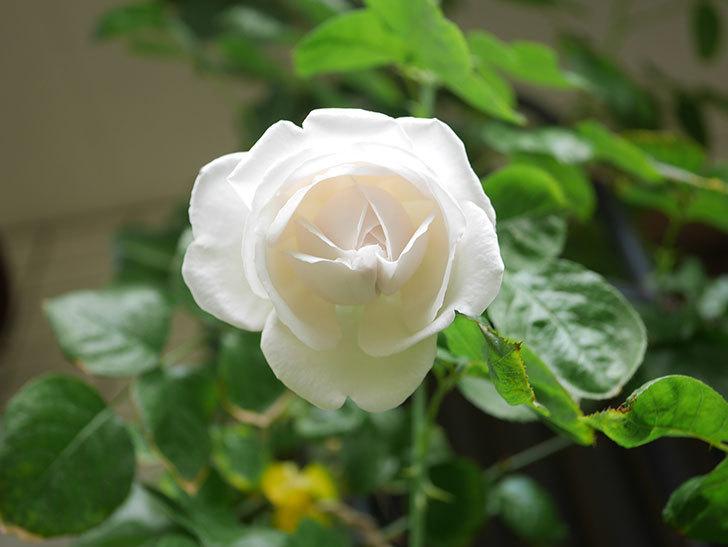パブロア(Pavlova)の花が少し咲いた。半ツルバラ。2021年。-017.jpg