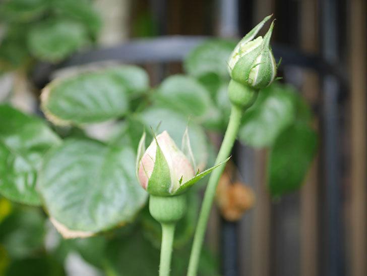 パブロア(Pavlova)の花が少し咲いた。半ツルバラ。2021年。-018.jpg