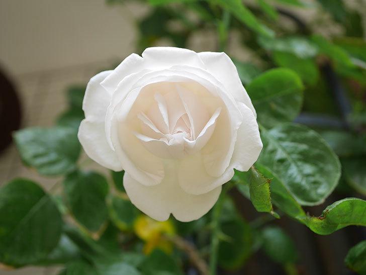 パブロア(Pavlova)の花が少し咲いた。半ツルバラ。2021年。-020.jpg